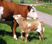 Kuh und Kalb auf der Weide beim Balzenhof